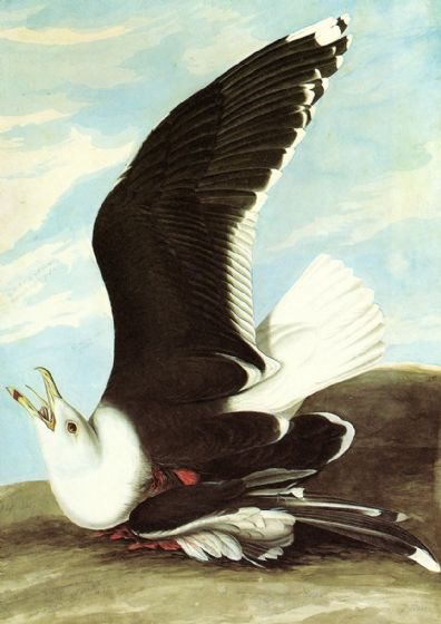 Audubon, John James: Great Black Backed Gull. Ornithology Fine Art Print/Poster. Sizes: A4/A3/A2/A1 (001116)